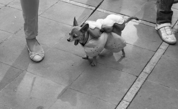 chihuahueño en la bendicion de mascotas