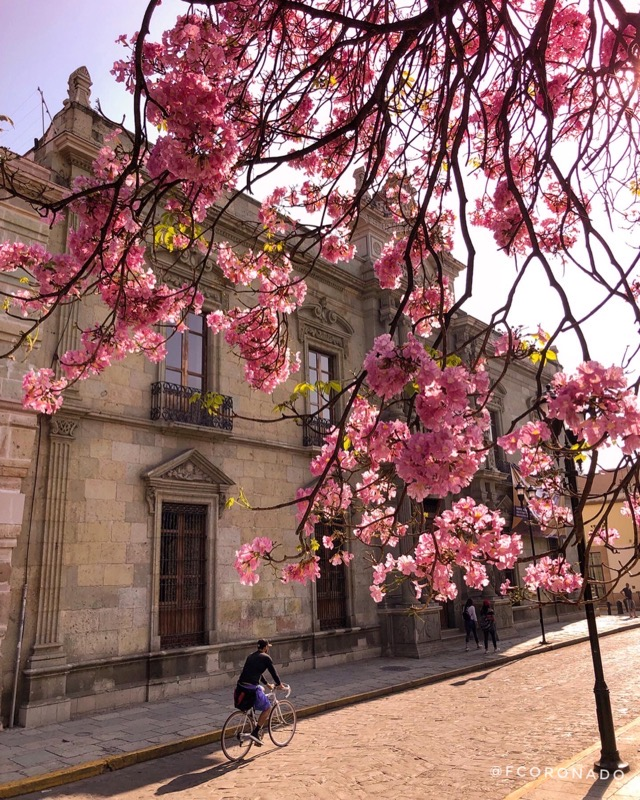 guayacan rosa de oaxaca
