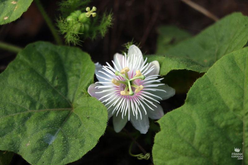 flores de la india