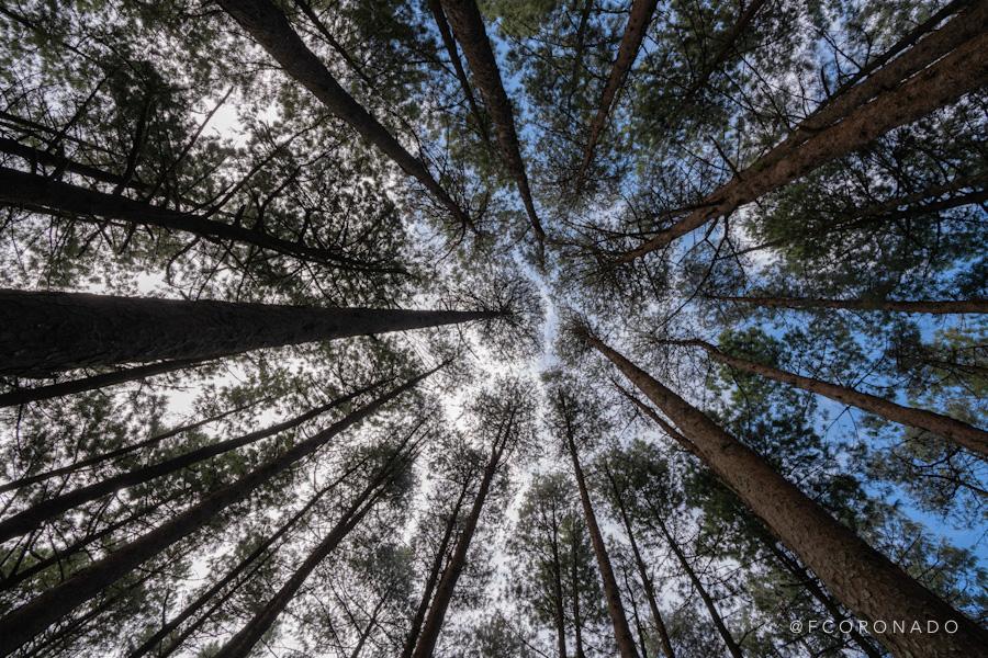 bosque de pinos en oaxaca