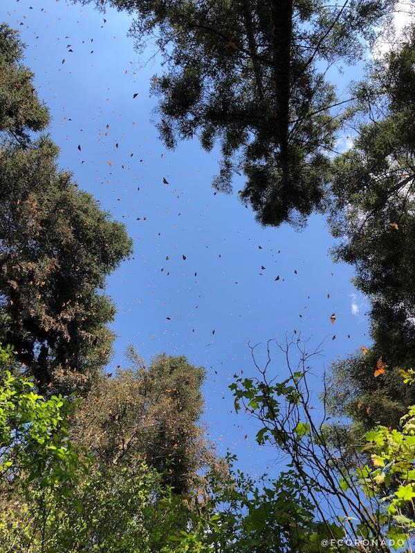 mariposa monarca, santuarios de mexico, migraciones naturales