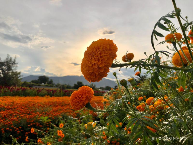 flores de dia de muertos