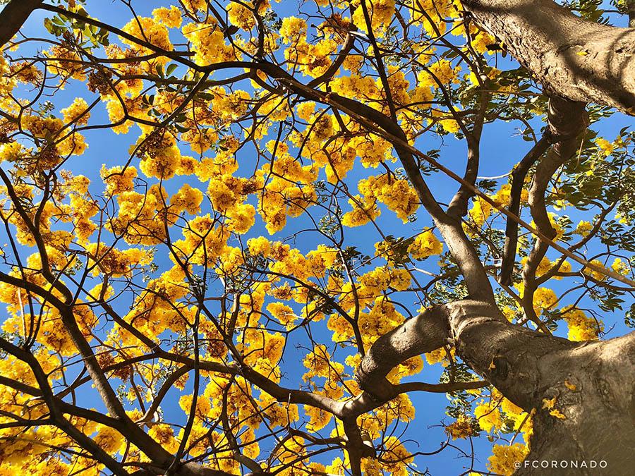 flor guayacan