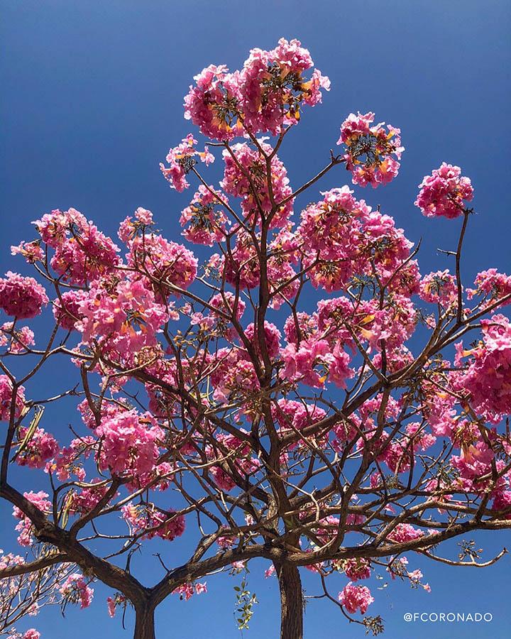 guayacan rosa