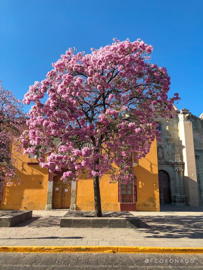 arboles de Oaxaca
